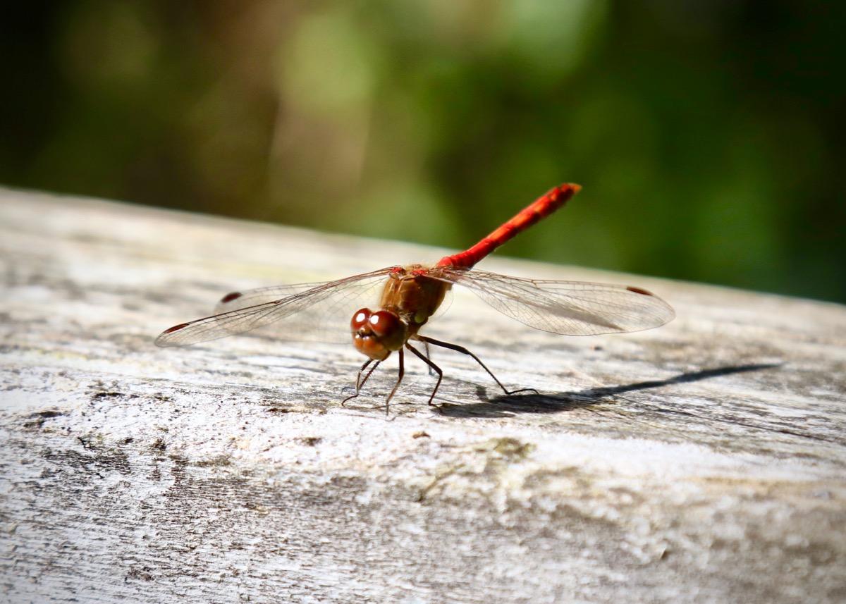 Dragonfly at Risley Moss