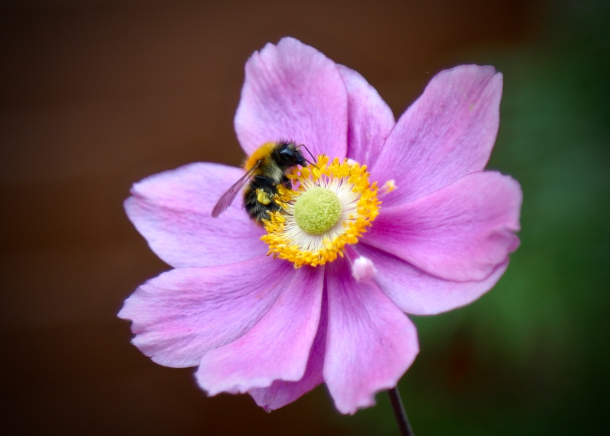 Bumblebee on a Japanese Anemone